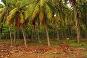 Кокосовые плантации на Сумбаве