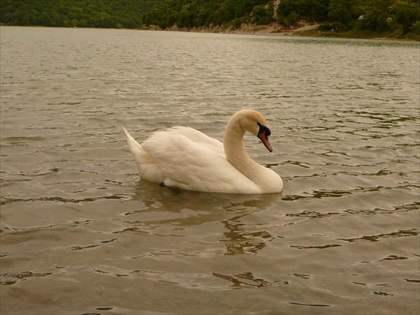 Лебедь на озеро Абрау